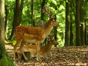 Postal: Dos jóvenes ciervos en el interior del bosque