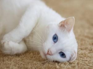 Gato blanco sobre una alfombra