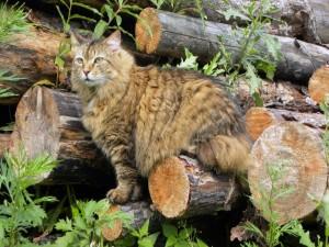 Un hermoso gato entre los troncos