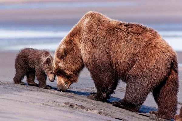 Osezno jugando con mamá