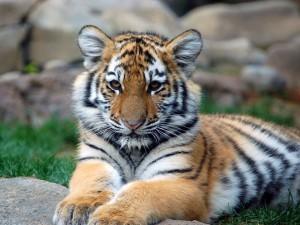 Un joven tigre descansando