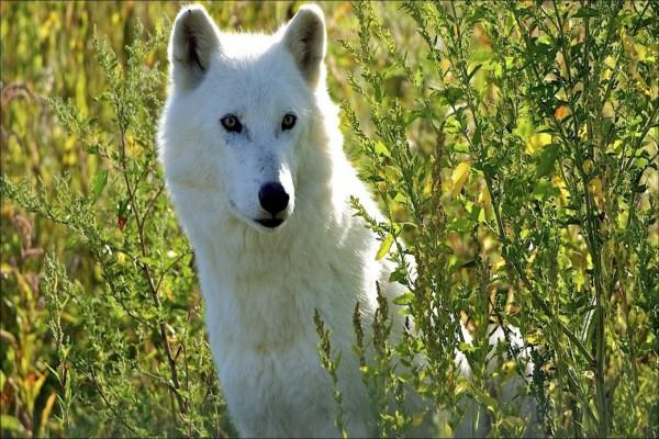 Lobo blanco entre las plantas