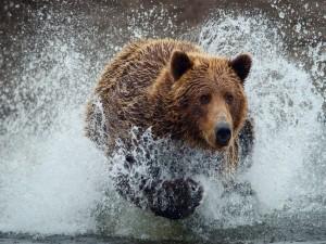 Un oso pardo corriendo en el agua