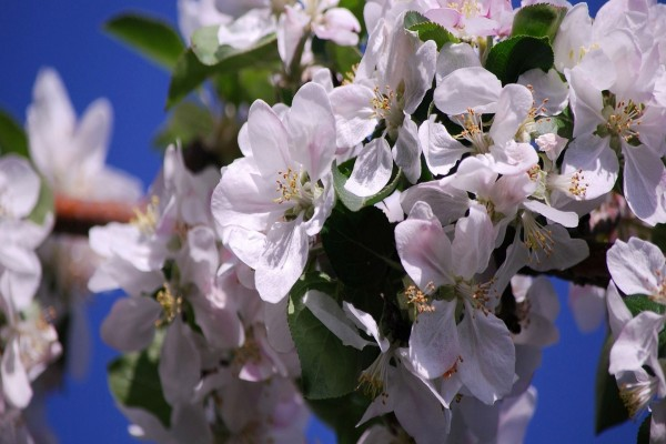 Rama con esbeltas flores de manzana