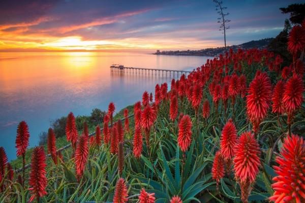 Puesta de sol sobre los aloe vera en floración