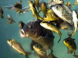 Postal: Peces de río