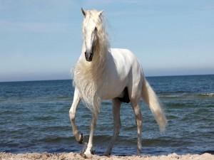 Postal: Hermoso caballo blanco en una playa