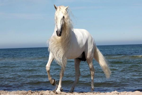 Hermoso caballo blanco en una playa