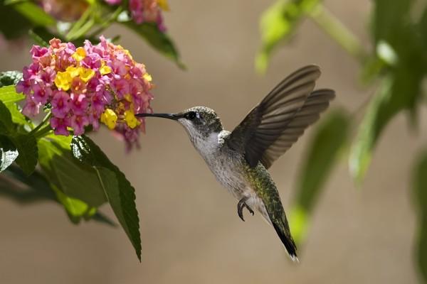 Colibrí libando unas pequeñas flores