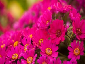Margaritas de color fucsia