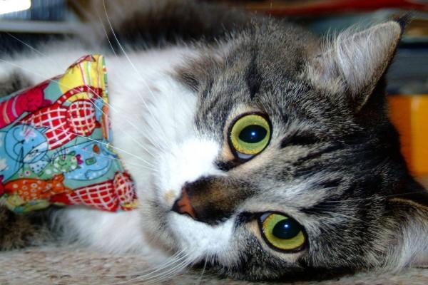 Gato observando con sus grandes ojos