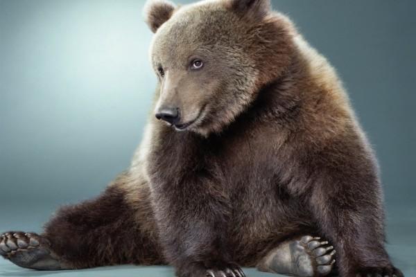 Un oso sentado