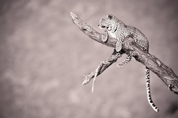 Imagen de un leopardo sobre un tronco