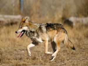 Un coyote caminando