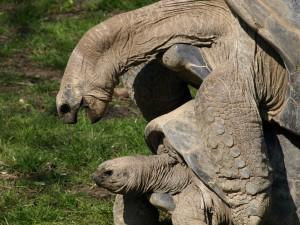 Postal: Tortugas en plena reproducción
