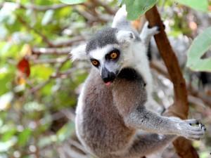 Postal: Lémur en un árbol