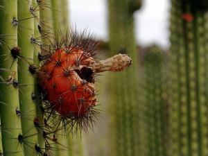 Postal: Fruto en un cáctus