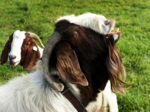 Postal: Cabra con la boca abierta