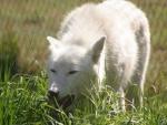 Lobo blanco sobre la hierba