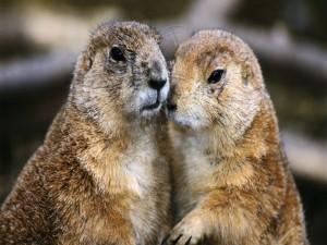 Pareja de marmotas