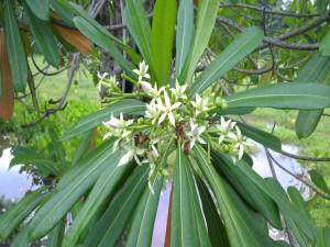Postal: Flores blancas en una planta