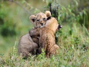 Postal: Cariño entre cachorros de león