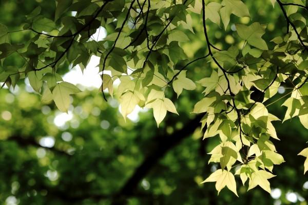 Las hojas verdes de un árbol