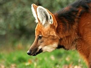 Postal: Lobo de crin o aguará guazú