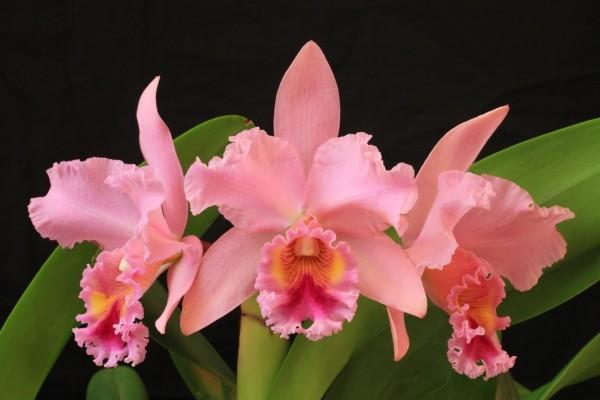 Orquídeas rosas en fondo negro