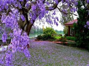 Postal: Árbol con flores de color púrpura junto a una casa y el lago