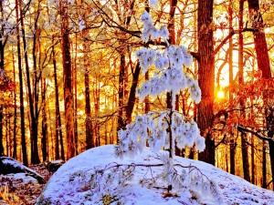 Postal: La luz del sol en un bosque nevado