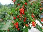 Hermoso arbusto con flores rojas
