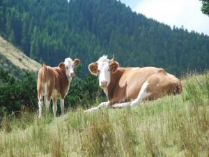 Postal: Vaca junto a su ternero en una colina