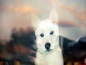 Postal: La mirada de un perro blanco
