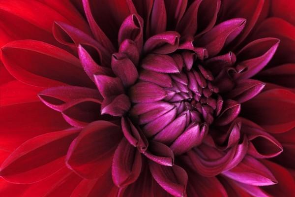 Dalia color púrpura