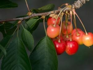 Cerezas en una rama