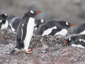 Pingüinos en su hábitat natural