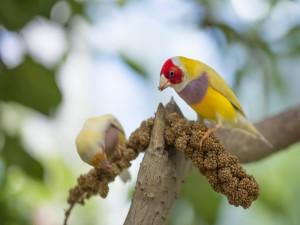 Postal: Dos pajarillos de colores comiendo semillas sobre una rama