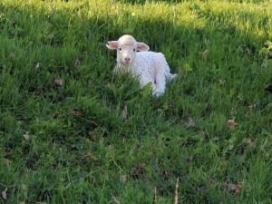 Postal: Corderito sobre la hierba