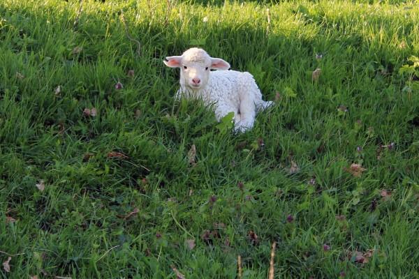 Corderito sobre la hierba