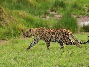 Postal: Leopardo caminando sobre la hierba