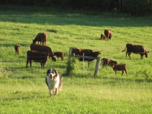 Perro cuidando de las vacas