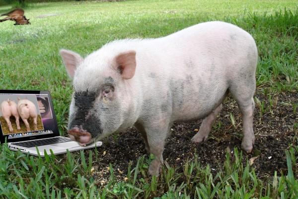 Un cerdo viendo fotos en el portátil