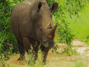 Rinoceronte junto a un árbol