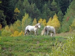 Caballos blancos viviendo en libertad