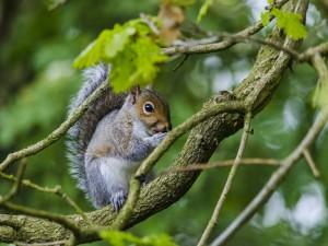 Postal: Ardilla comiendo sobre un árbol