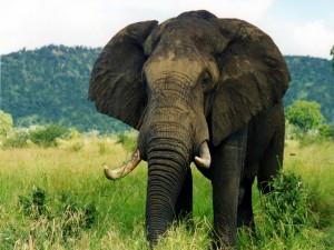 Hermoso elefante africano