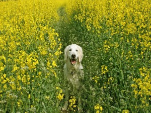 Un bonito perro entre flores amarillas