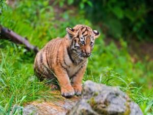 Postal: Cachorro de tigre