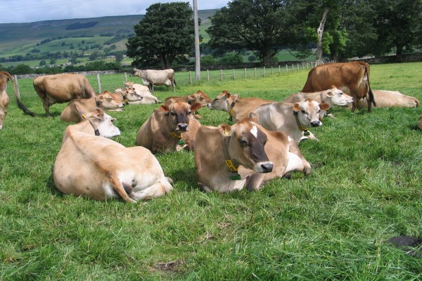 Vacas descansando sobre la hierba